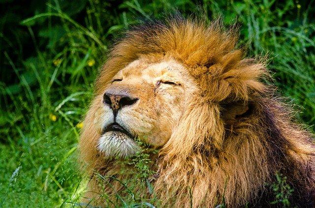 ライオンがゆっくり寝ている